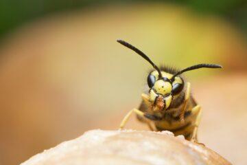 Guêpe - insecte volant