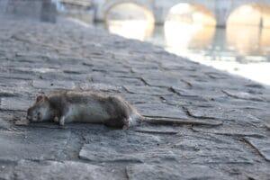 Rat mort quai de sein Paris