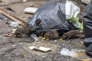 Rats recherchant de la nourriture sur une poubelle